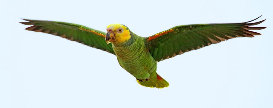 Emas National Park - Yellow-faced Parrot