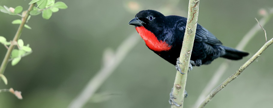 Kuryala Lodge & Bananal Island - Scarlet-throated Tanager