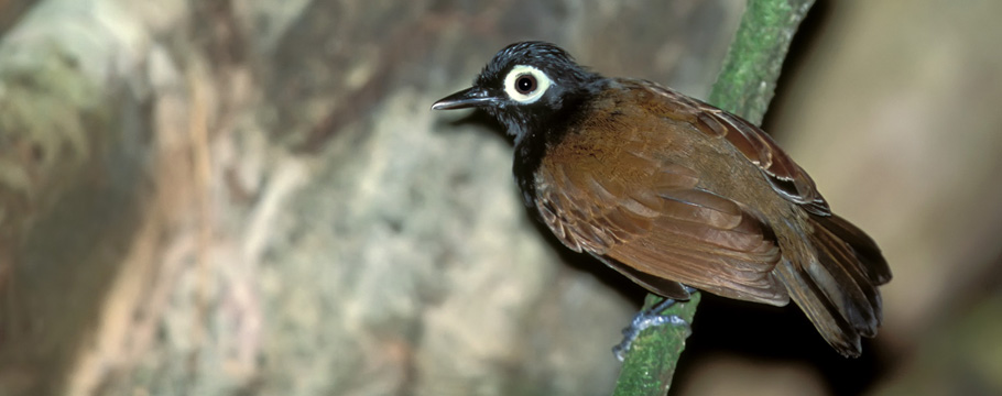 Cristalino Lodge - Alta Floresta - Bare-eyed Antbird