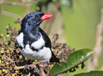 Cristalino Lodge - Alta Floresta Red-billed Pied Tanager
