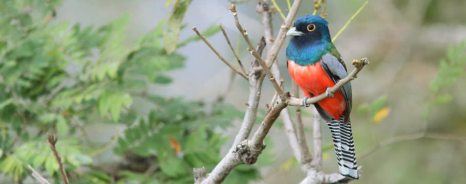 Northern Pantanal - Transpantaneira Road - Blue-crowned Trogon
