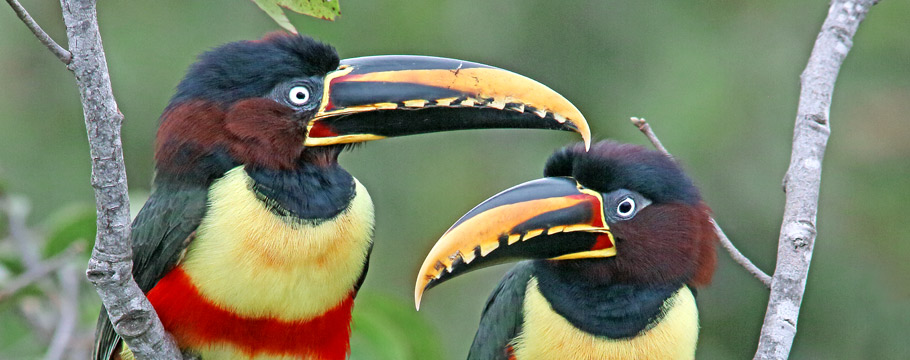 Northern Pantanal - Transpantaneira Road - Chestnut-eared Aracari