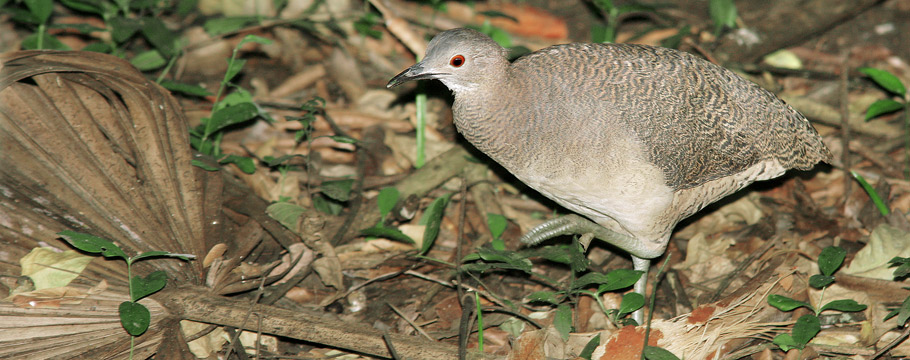 Northern Pantanal - Transpantaneira Road - Undulated Tinamou