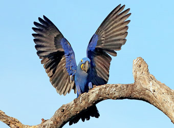 Northern Pantanal - Transpantaneira Road Hyacinth Macaw