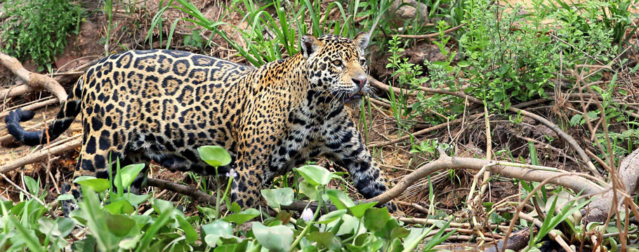 JAGUAR KINGDOM - Photo Safari - Jaguar