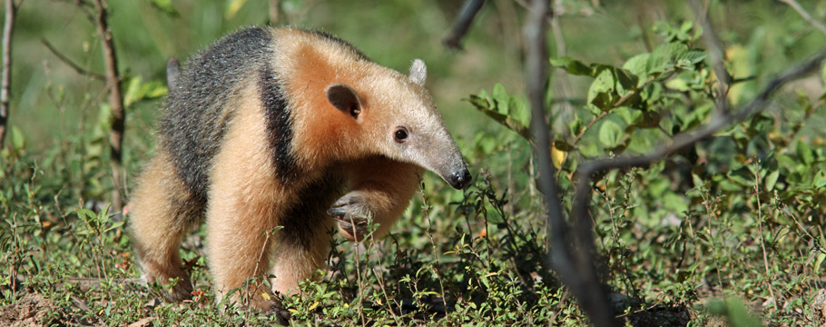 JAGUAR KINGDOM - Photo Safari - Southern Tamandua