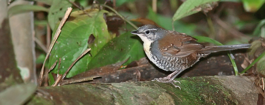 Rio Roosevelt Lodge - Rusty-belted Tapaculo