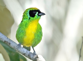 Rio Roosevelt Lodge Green-and-gold Tanager
