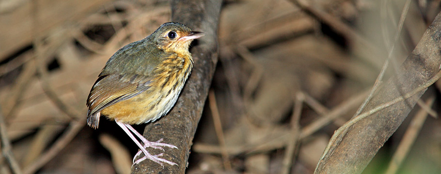 Carajas National Forest - Amazonian Antpitta