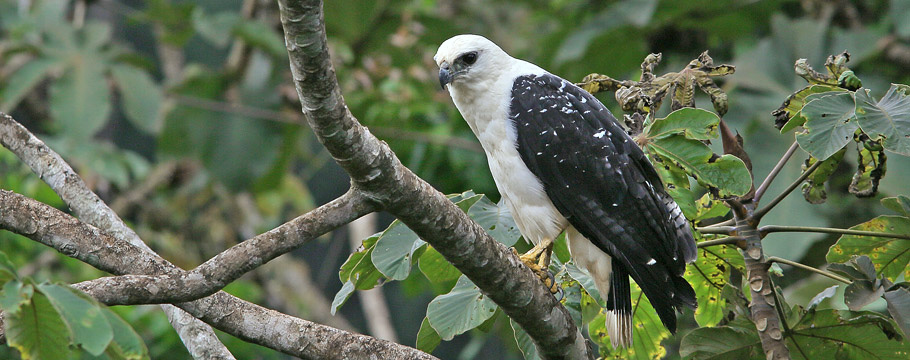 Carajas National Forest - White Hawk