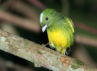 Carajas National Forest Opal-crowned Manakin