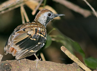 Carajas National Forest Wing-banded Antbird