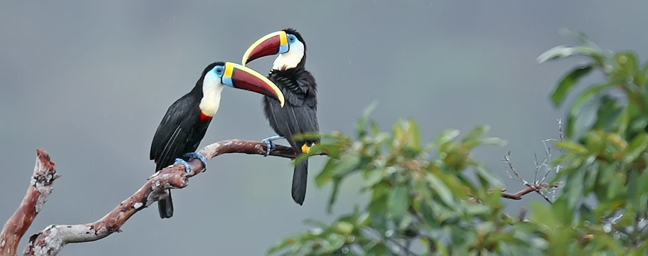 Manaus Vicinity and Presidente Figueiredo - White-throated Toucan