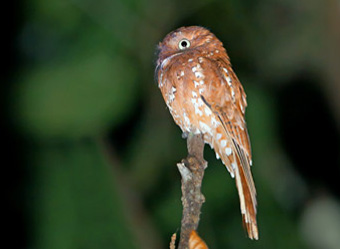 Manaus Vicinity and Presidente Figueiredo Rufous Potoo