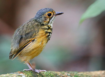 Manaus Vicinity and Presidente Figueiredo Spotted Antpitta
