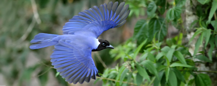 Roraima State - Violaceous Jay