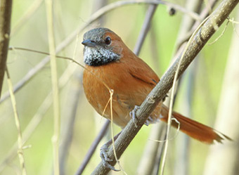 Roraima State- from South to North Hoary-throated Spinetail
