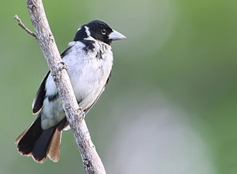 Roraima State- from South to North White-naped Seedeater