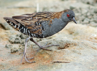 Fixed Departures Dot-winged Crake