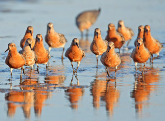 Fixed Departures Red Knot