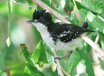 Fixed Departures Black-and-white Antbird