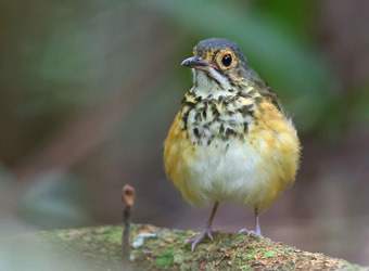 Fixed Departures Spotted Antpitta