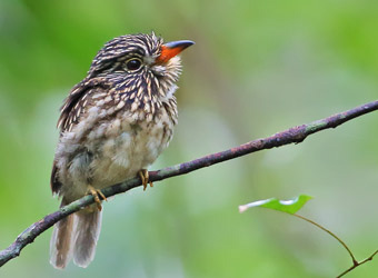 Fixed Departures White-chested Puffbird