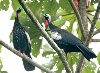 Fixed Departures Black-fronted Piping-Guan