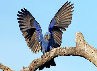 Fixed Departures Hyacinth Macaw