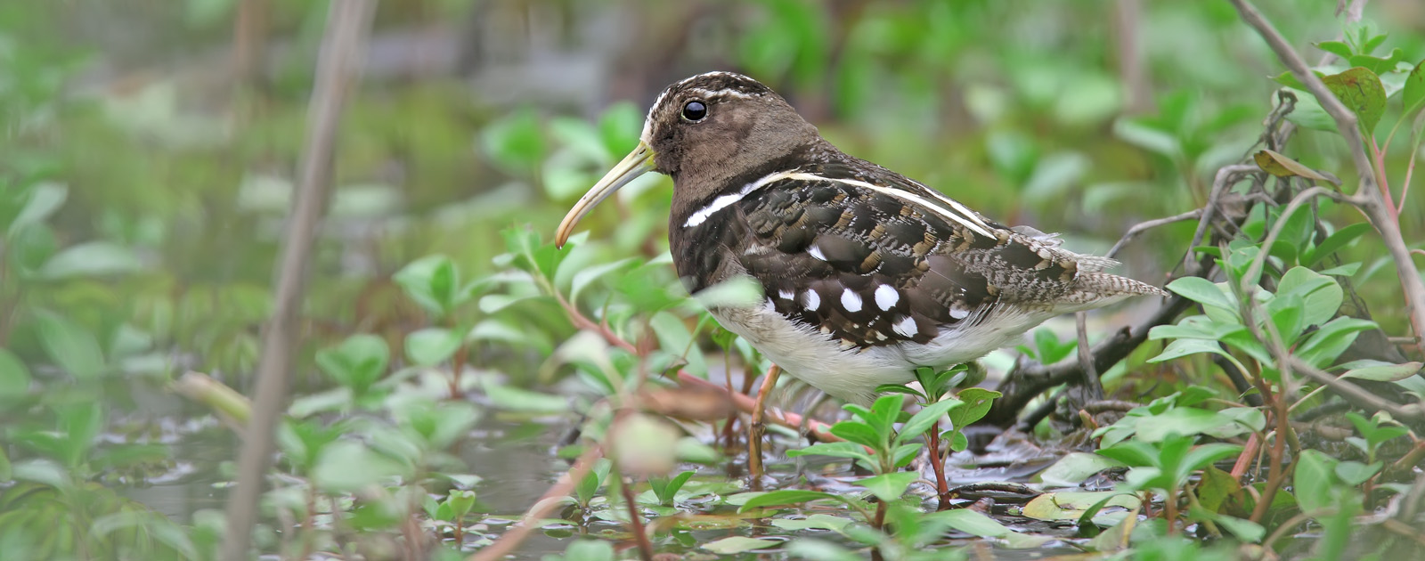 December 6 to 17 Rio Grande do Sul State American Painted-snipe